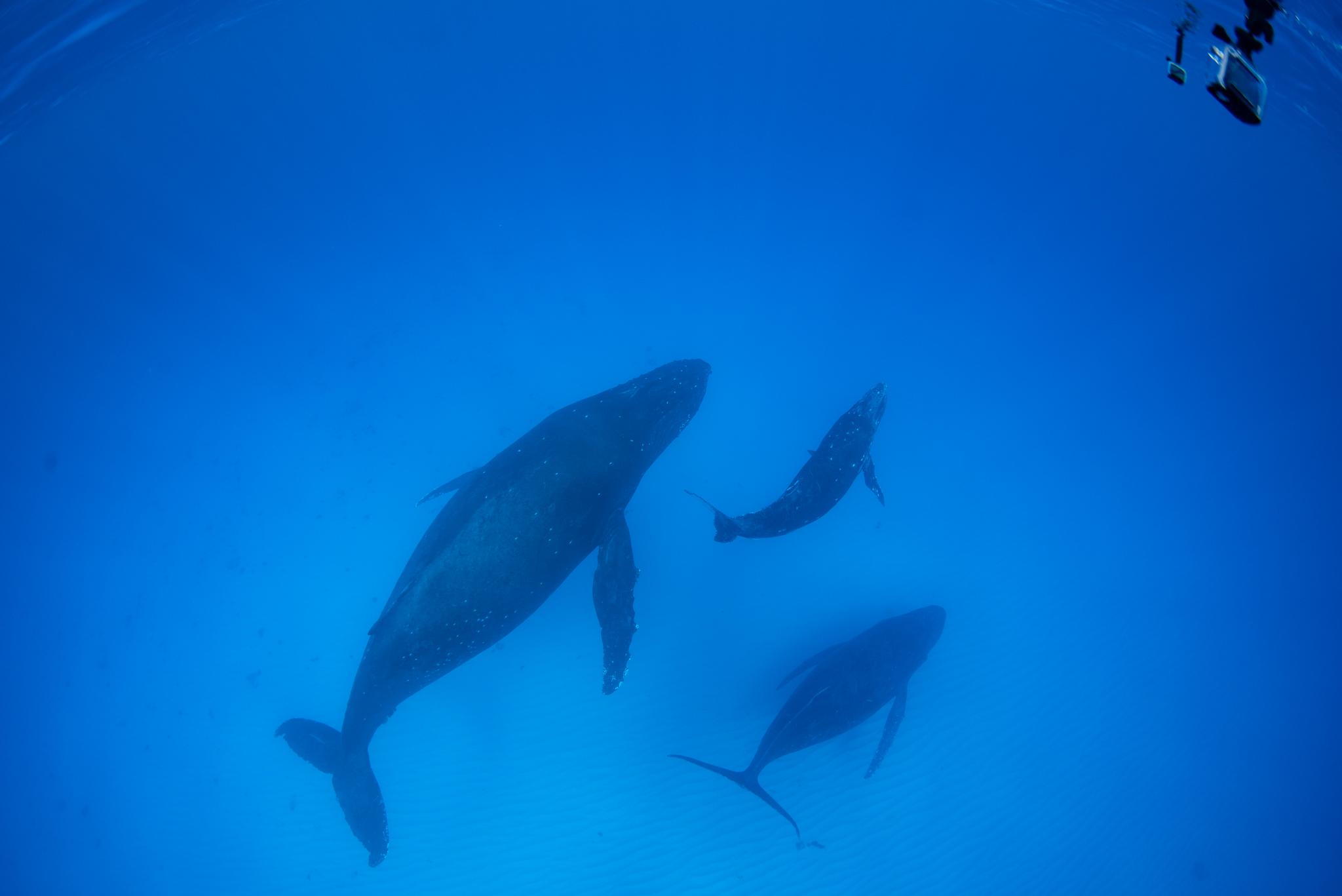 船になついちゃうクジラちゃん。
